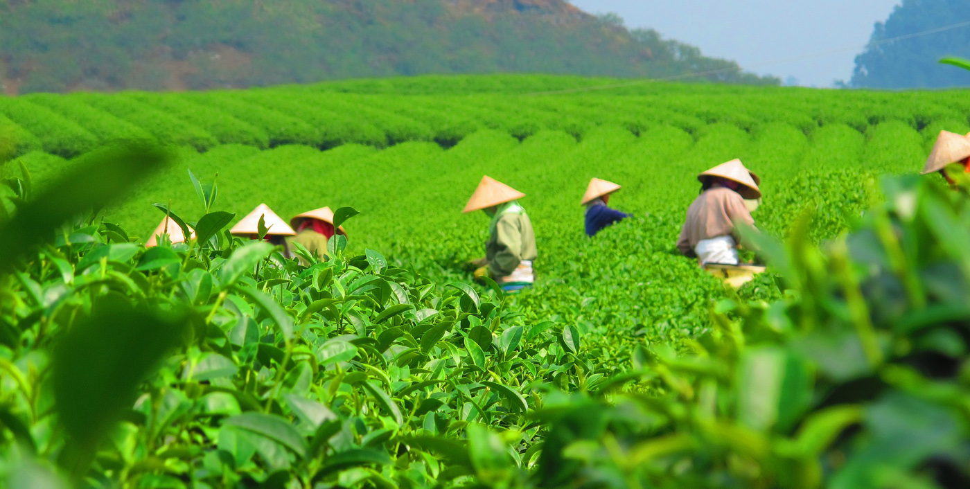 Thai Nguyen Tea Plantation